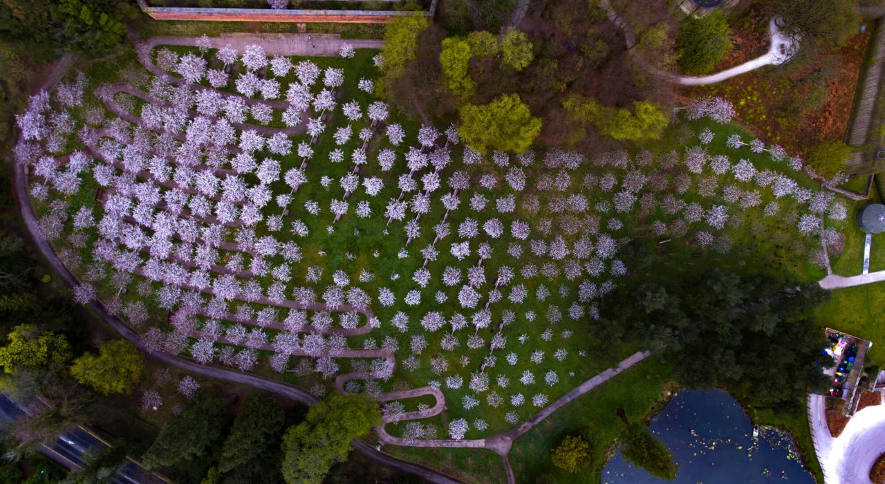 Alnwick Gardens Northumberland Cherry Orchard Trees. Aerial drone view of Alnwick Gardens